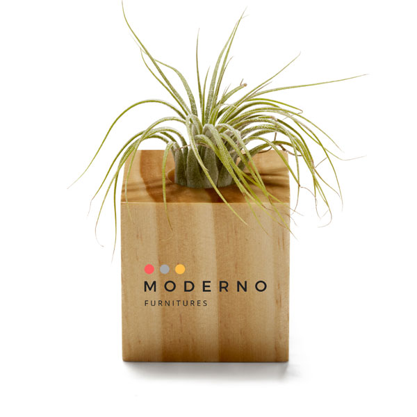 Promotional Air Plant